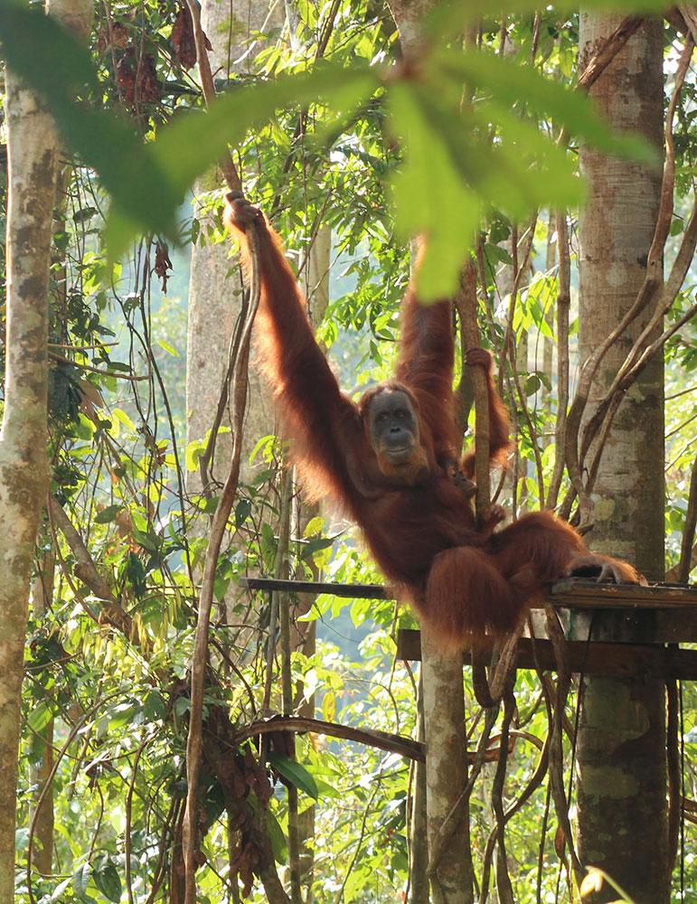 Bukit Lawang Orangutan with baby
