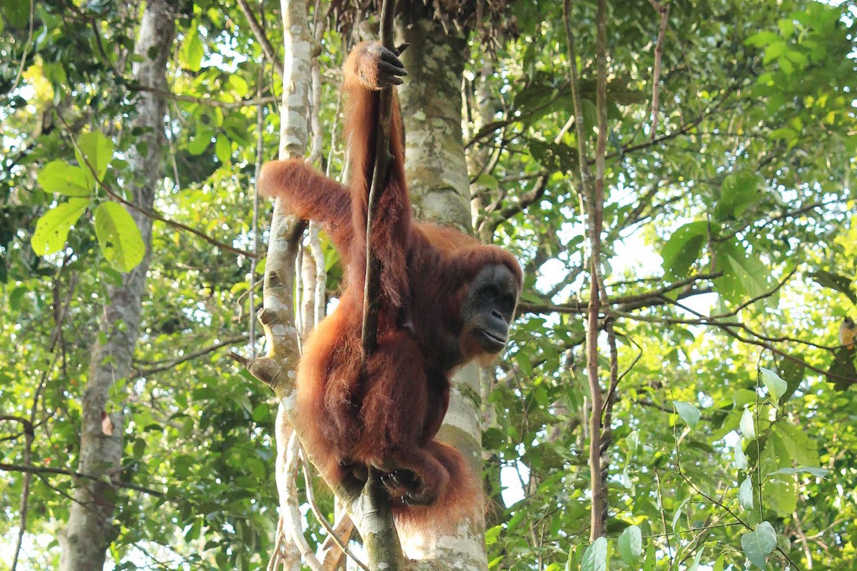 Orangutans, Bukit Lawang