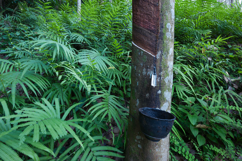 Rubber tree, Hevea brasiliensis
